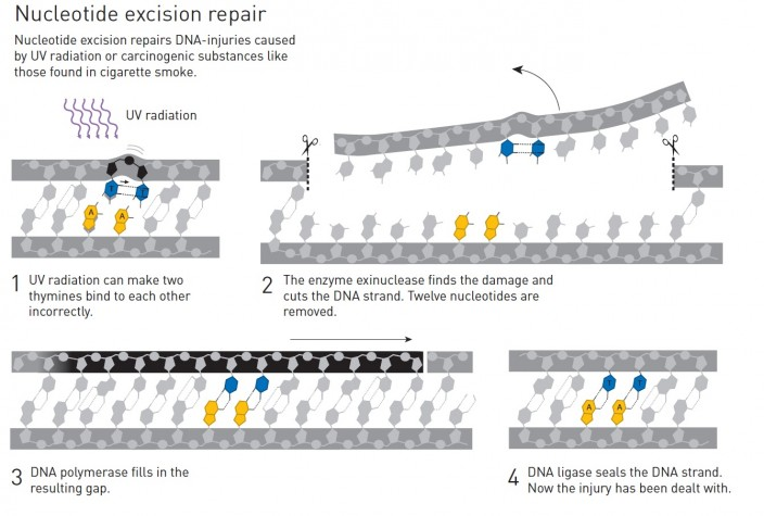 뉴클레오티드 절단 복구는 자외선이나 담배연기 같은 발암성 물질에 의해 손상된 DNA를 복구하는 과정이다. 자외선으로 인해 두 개의 티민이 서로 결합되는 오류가 일어나면(1), 핵산 분해효소인 엑소뉴클라아제가 이를 발견하고 DNA줄기를 잘라낸다. 이 과정에서 12개의 뉴클레오티드가 제거된다(2), DNA 중합효소가 빈 공간을 채우고(3) DNA 연결효소가 이를 봉제한다(4). - 노벨위원회 제공